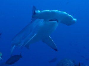 Tiburón Martillo en Malpelo