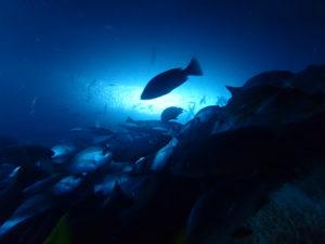 Vida marina en Malpelo
