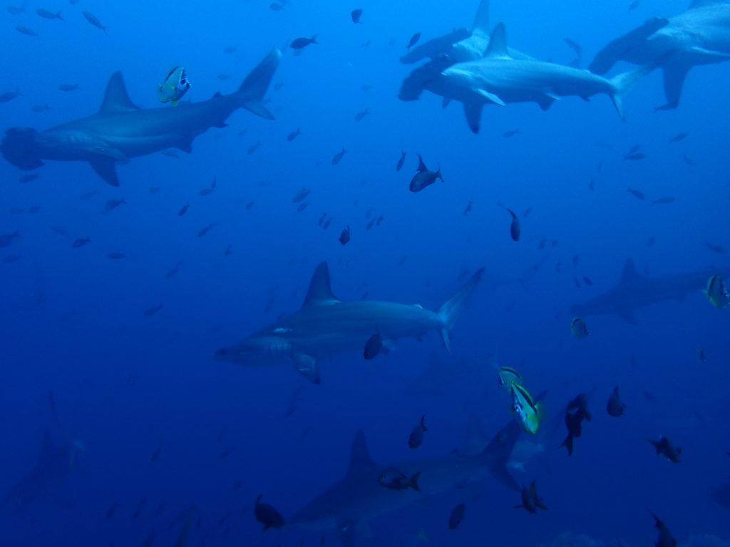 Los tiburones martillo de Malpelo viven en grandes bancos, y si no te mueves mucho, se acercan a tí sin problema.